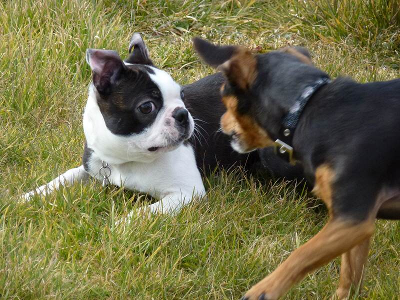 small dogs playing