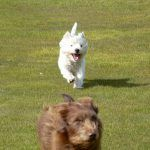 west highland terrier running