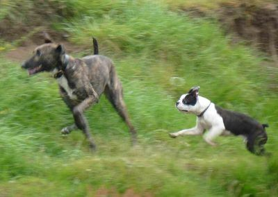 boston terrier and lurcher