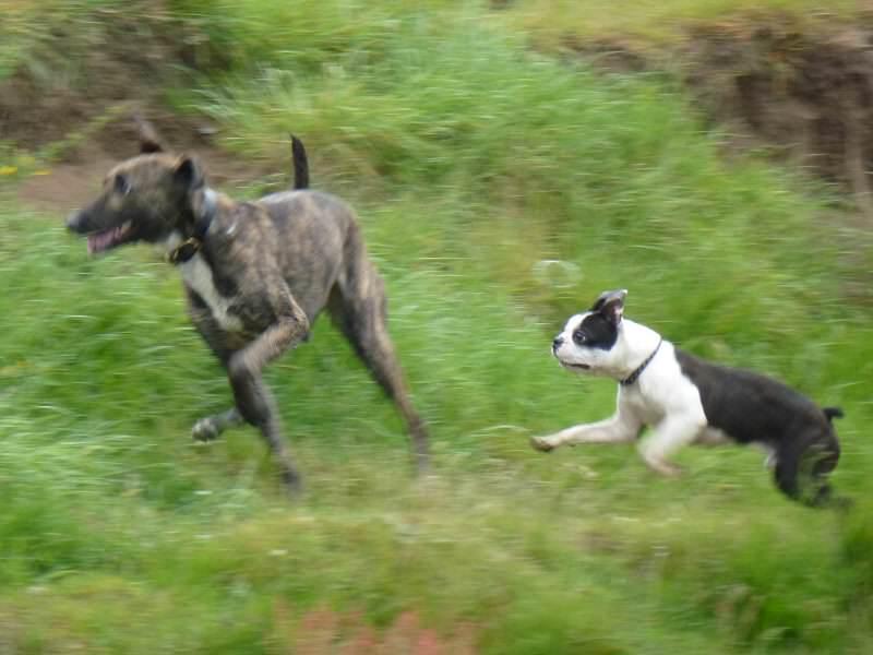 boston terrier and lurcher