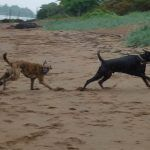 dogs chasing after stick