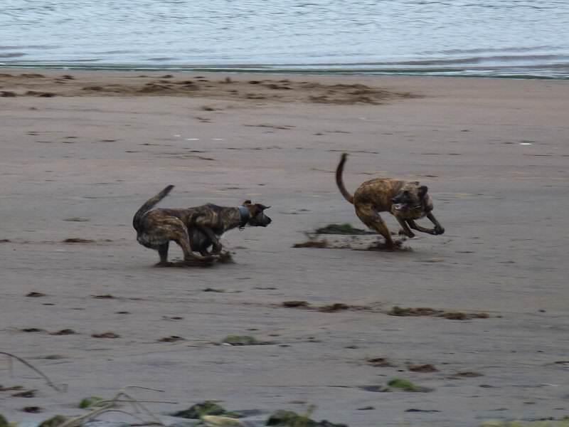 lurchers playing