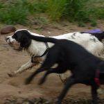 springer spaniel running