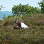 dog bouncing through heather