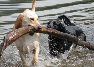 Hugo finds a big stick in the River Clyde