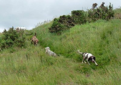 The dogs run down a hill!