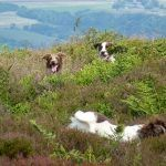 dogs playing in heather