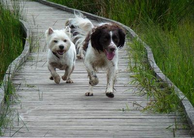 Dogs crossing the foot bridge over a bog!