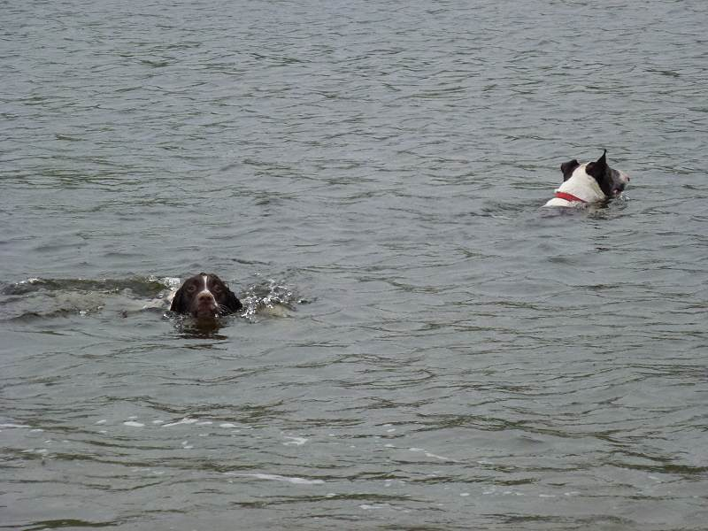 dogs swimming in clyde
