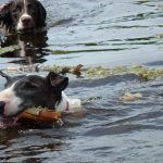 dogs swimming in langbank lake
