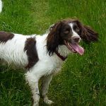 happy springer spaniel