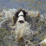 spaniel crashing into water