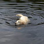 Bonnie the labrador goes for a swim