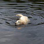 Bonnie the labrador goes for a swim