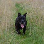 Black Staffordshire bull terrier, Stella!
