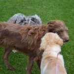 Puppy Elsa meeting older dog Ruby