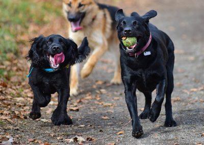 black cocker spaniel and black labrador