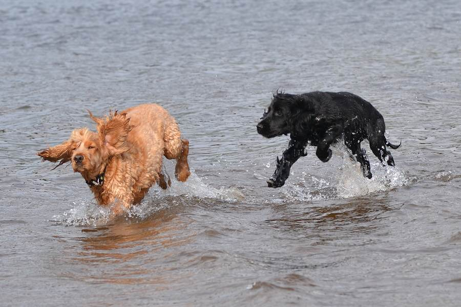 cocker spaniels in water