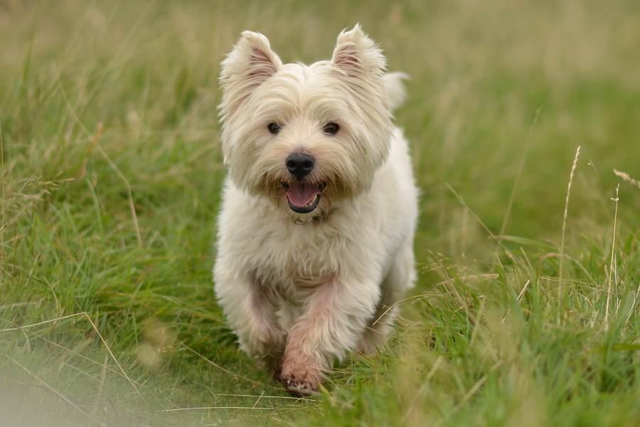 Fat west highland terrier