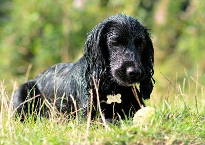 young black working spaniel