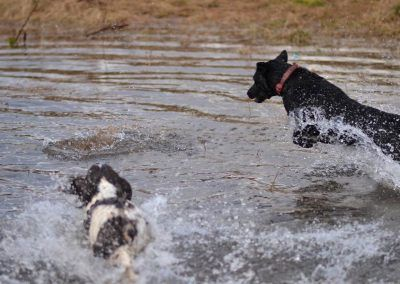 Both Daisy and Beau are fearless of water and will charge in at full speed!