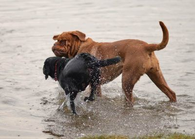 A young Dogue de Bordeaux comes over to meet the dogs