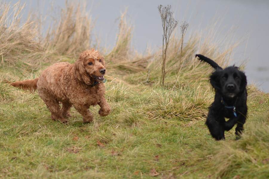 Golden cocker spaniel and black cocker spaniel