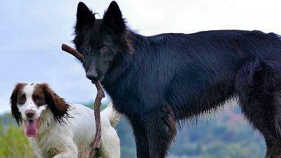 Black Alsation with stick