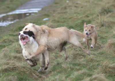 Elsa and one of her best buds, Nevis with Holly chasing.