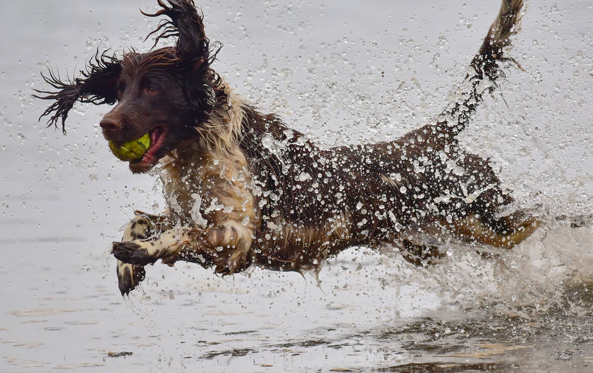 springer spaniel leaping into water
