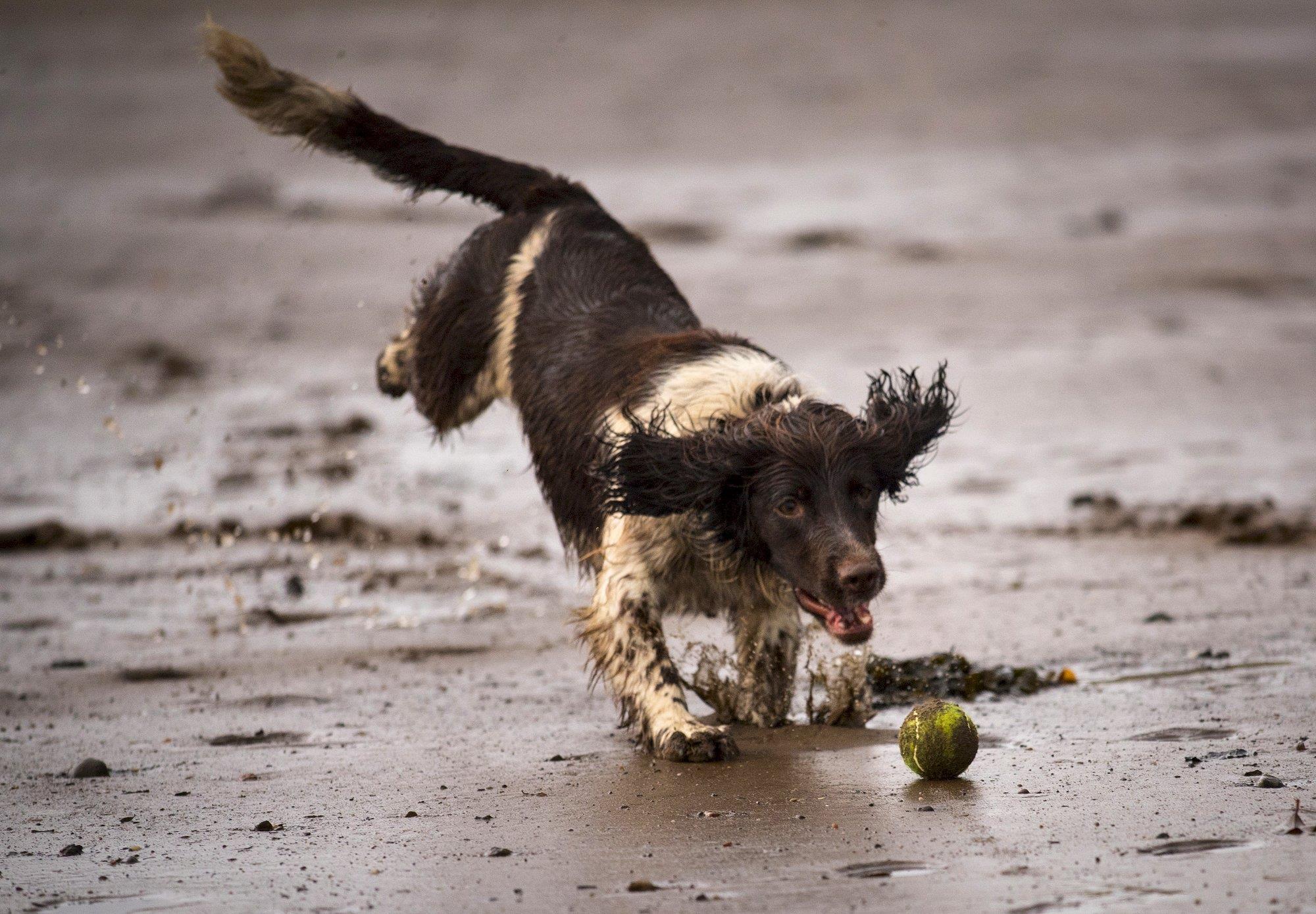 springer pounces on ball