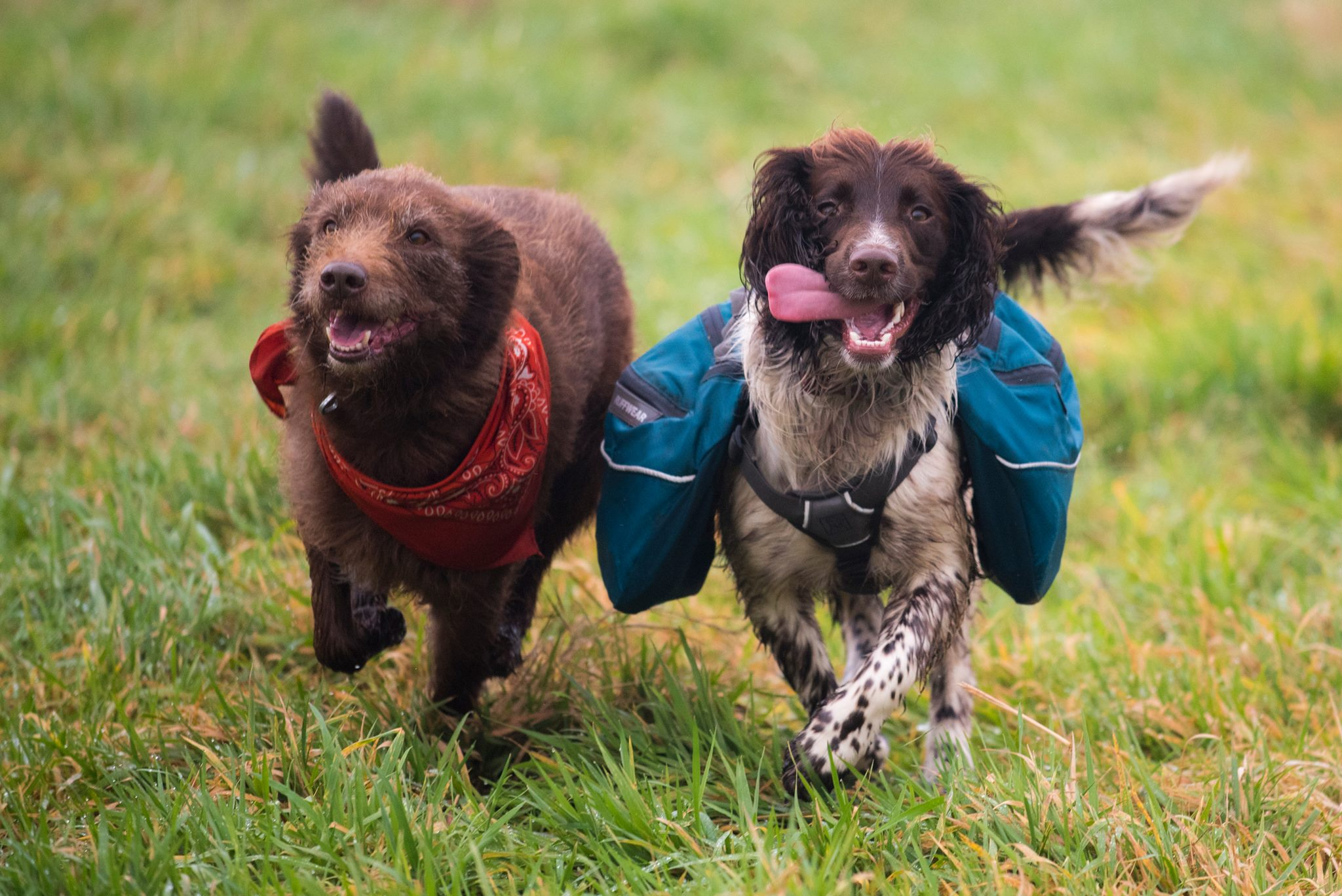 collie x and springer spaniel