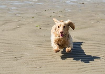 Oscar running on Ettrick Bay, Bute