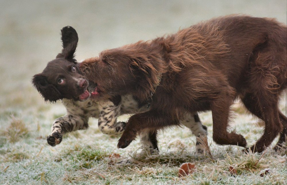 dogs playing on frost