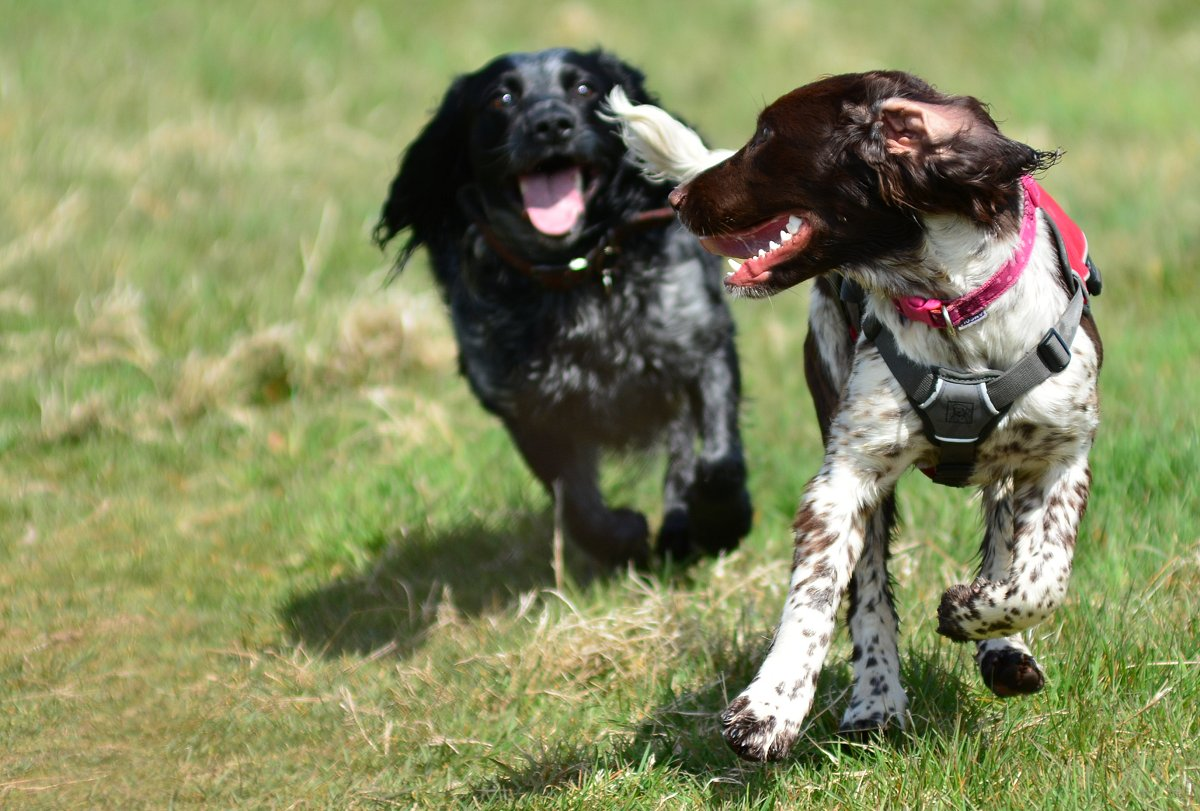 Spaniels running