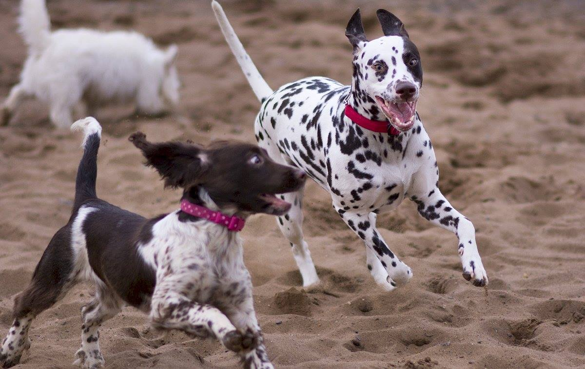 Spaniel and Dalmation