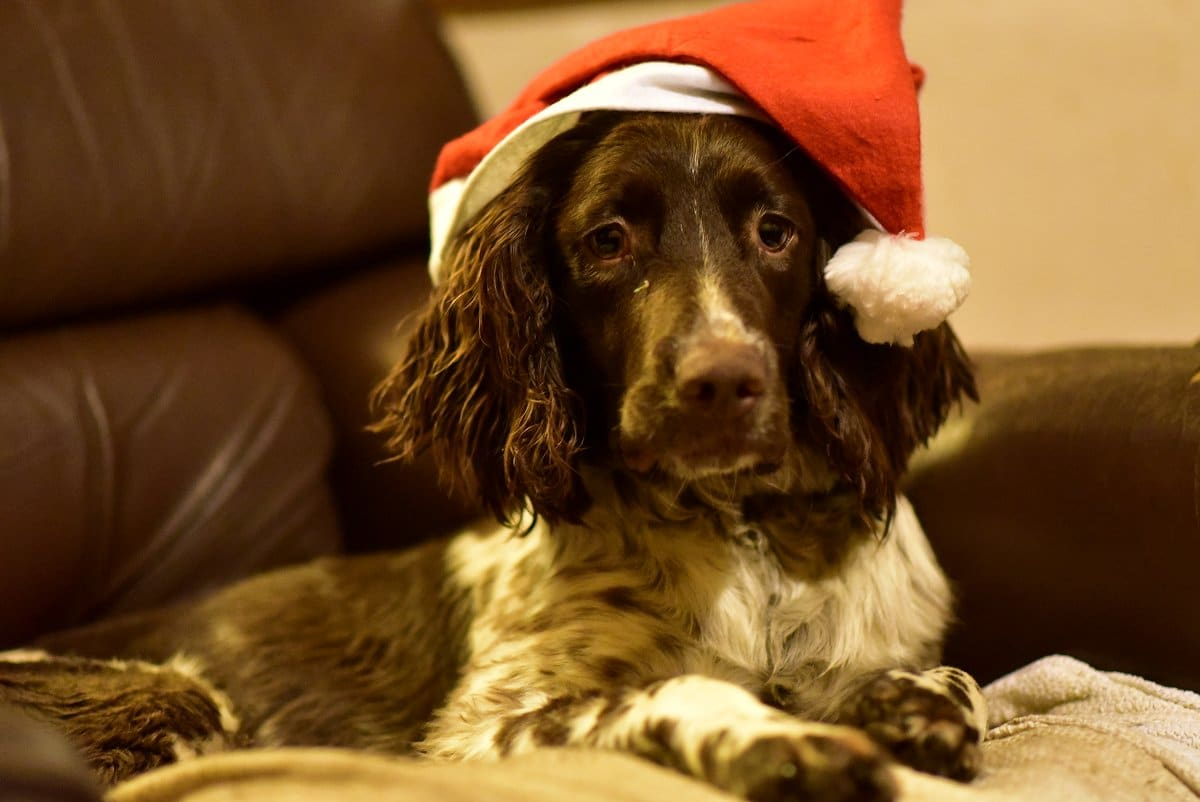 springer spaniel with christmas hat
