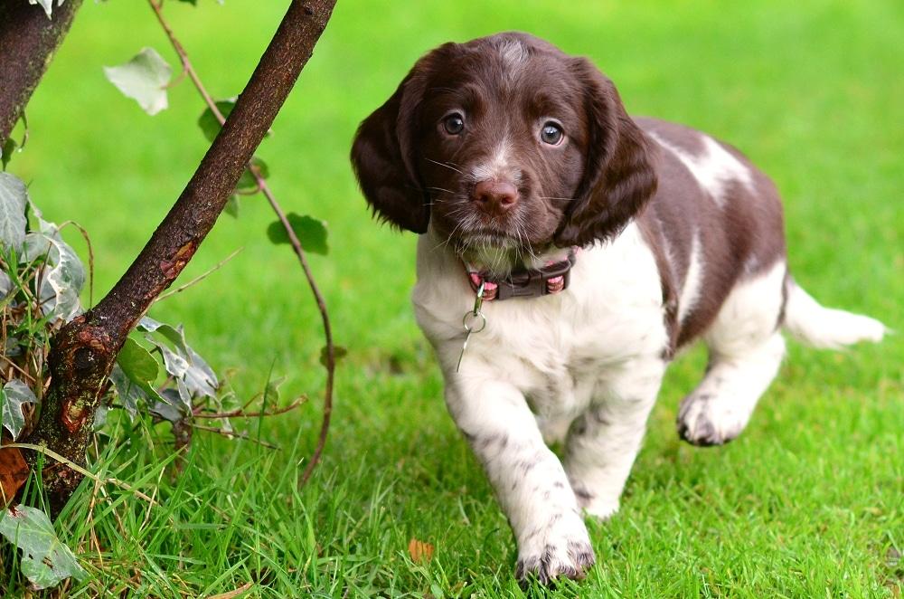 springer pup in garden