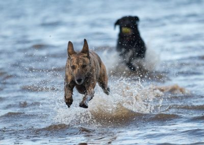 Molly running through the river Clyde