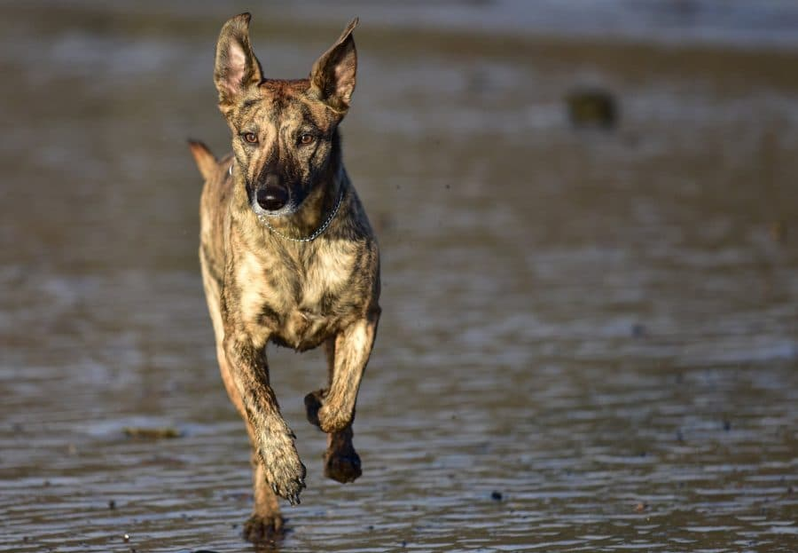 brindle lucher whippet