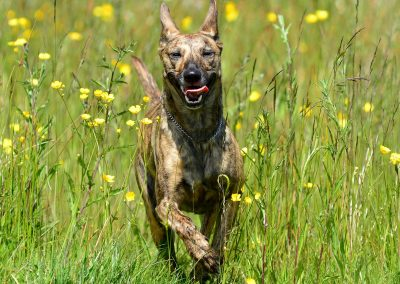 Molly running through a meadow in Parklea
