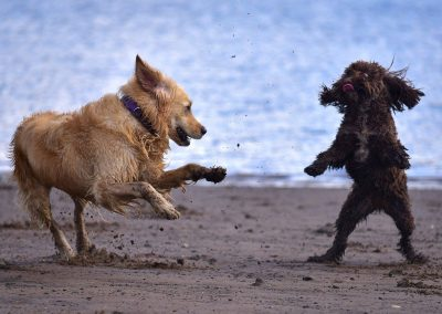 golden retriever and cockapoo playing