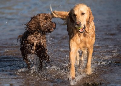 cockapoo and golden retreiver