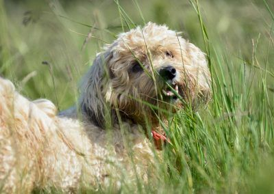 Ollie in long grass
