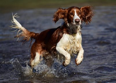 Celyn is a beautiful Welsh springer spaniel