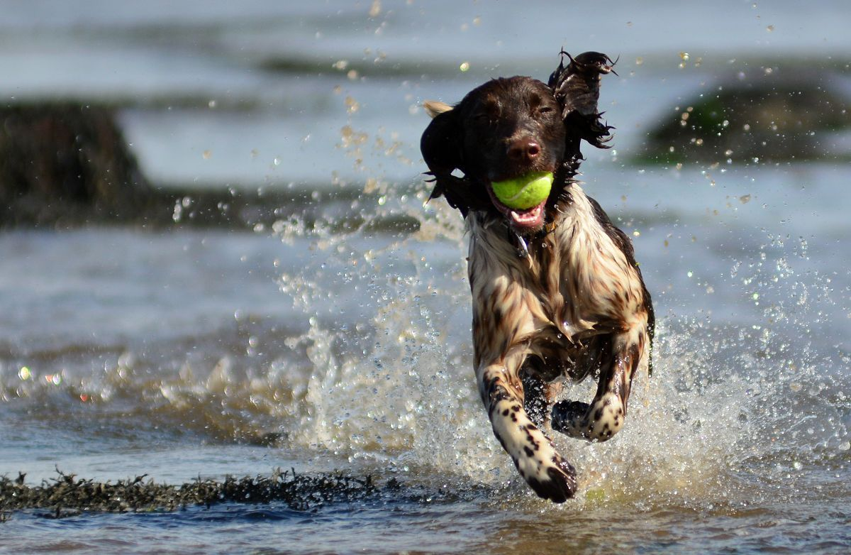 spaniel running in water