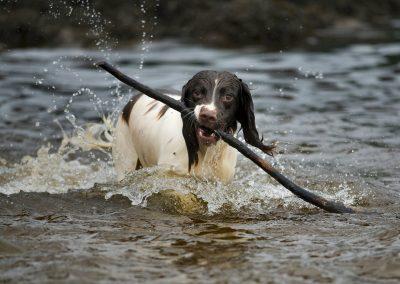 springer spaniel with stick