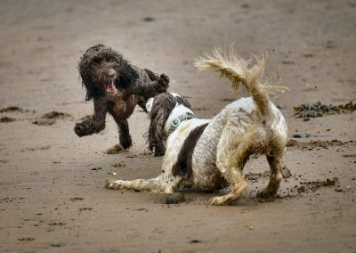 cockapoo and springer spaniel playing