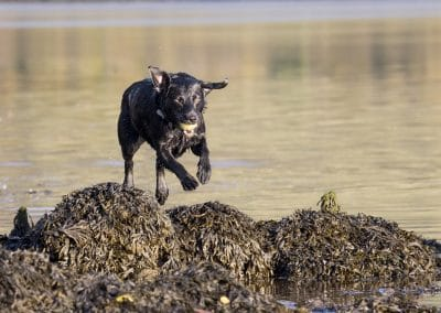 Beau jumps over some seaweed covered rocks