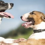 blue border collie and english bull terrier